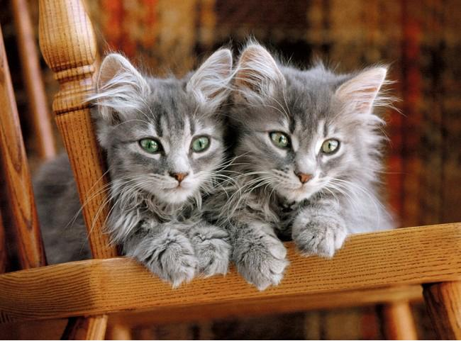 Puzzle Clementoni 500 items: Kittens on a chair  30545