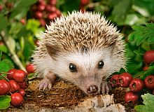Castorland jigsaw puzzle 100 pieces: Hedgehog with berries