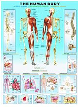 Puzzle Eurographics 1000 pieces: the Human body