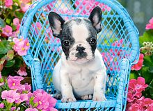 Castorland jigsaw puzzle 100 pieces: Puppy French Bulldog