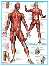 Puzzle Eurographics 1000 pieces: the Muscular system
