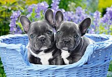 Puzzle Castorland 1000 details: French Bulldog Puppies