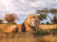 Puzzle Clementoni 1000 items: lion-king of beasts